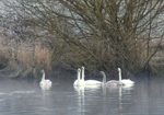 Trumpeter Swans on Chimacum Valley Pond